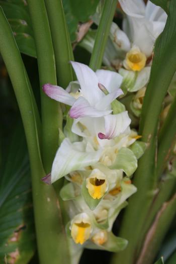 ウコンお花