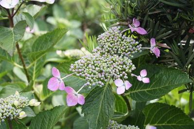額縁紫陽花