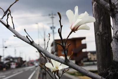 こぐしの花