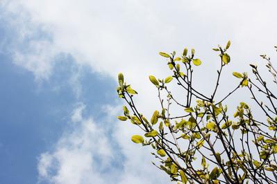 木蓮の若葉