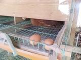 養鶏場の卵