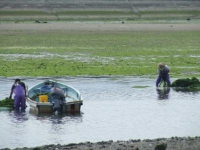 青のり漁2