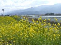 加茂川菜の花