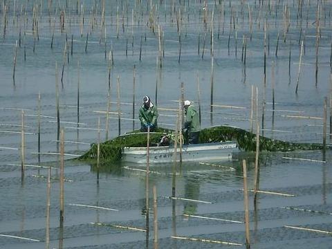 壬生川青のり漁