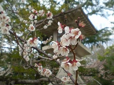 北天満宮桜