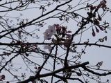 島田歯科 桜