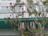 島田歯科医院 前の木