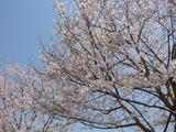 島田歯科前の桜情報