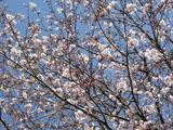 島田歯科前の桜並木
