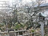 湯島天神 梅祭り