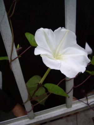 ヨルガオの花