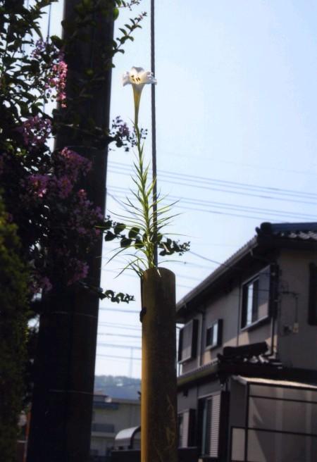 電柱の百合