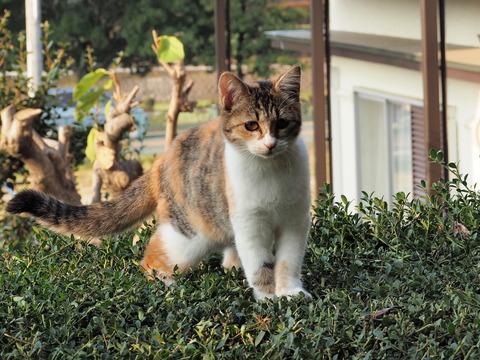 生垣の上のアキちゃん