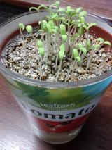 トマト栽培始めました