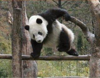 肉食草食系パンダ