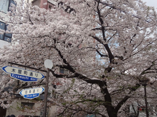 Sakura_Kiyamachi_140405