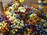 国技館前の花1