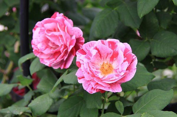 IMG_2348 Itei rose 03