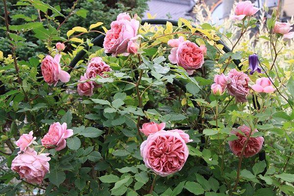 IMG_2369 Itei rose 06