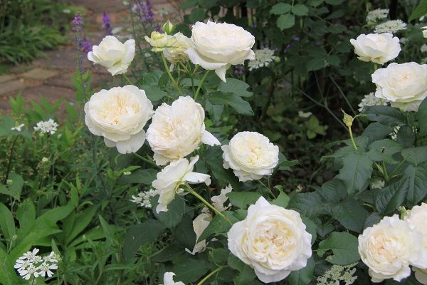 IMG_2358 Itei rose 07