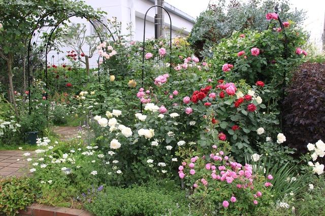 IMG_2340 Itei rose 01