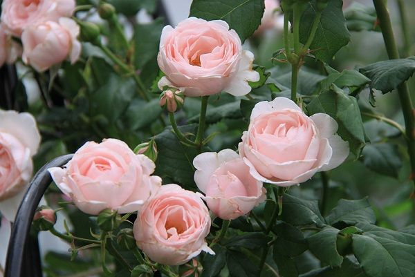 IMG_2343 Itei rose 05