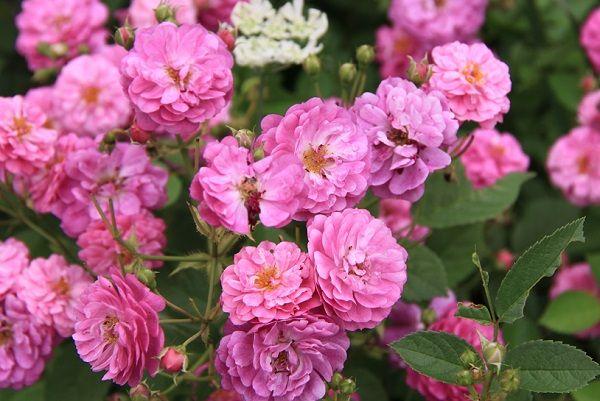IMG_2356 Itei rose 10