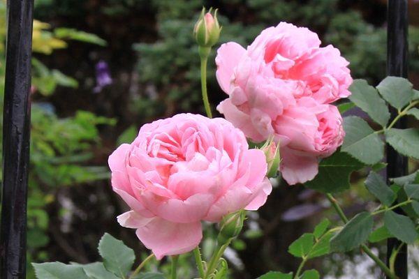 IMG_2351 Itei rose 09