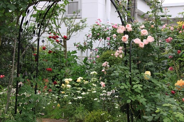 IMG_2341 Itei rose 02