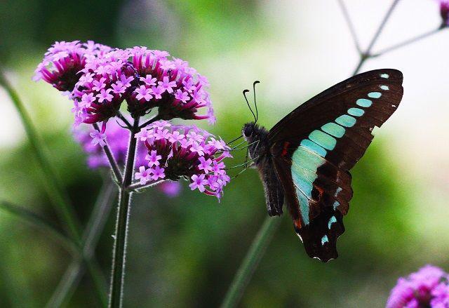 1559517978876  verbena & butterfly