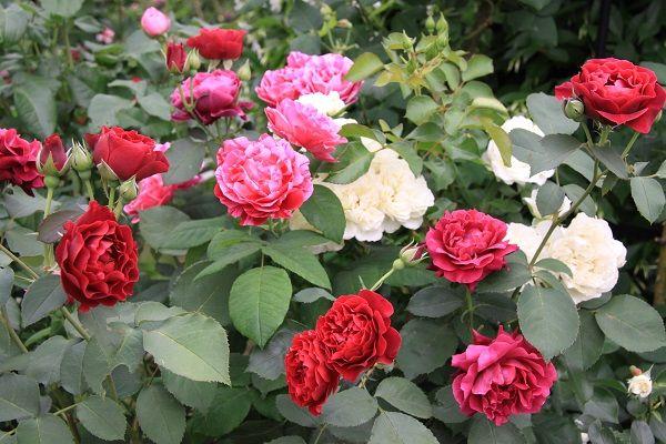 IMG_2357 Itei rose 08