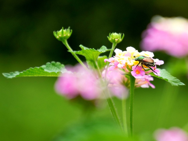 花とカナブン1