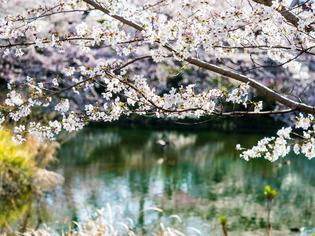 今泉名水桜公園8