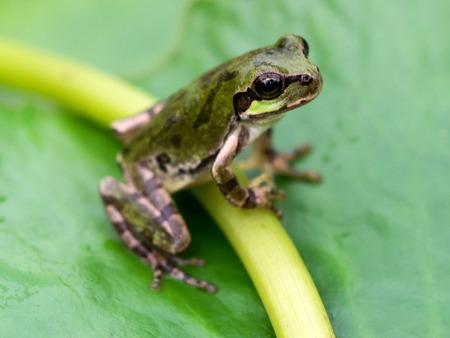 日本雨蛙9