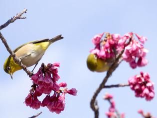 寒桜とメジロ11