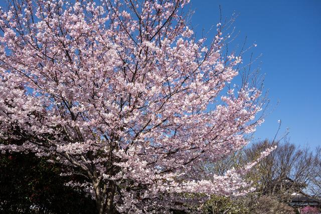 今泉名水桜公園11