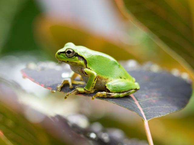 日本雨蛙78