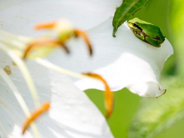 日本雨蛙63