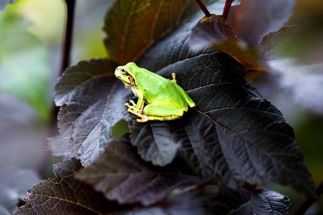 日本雨蛙48