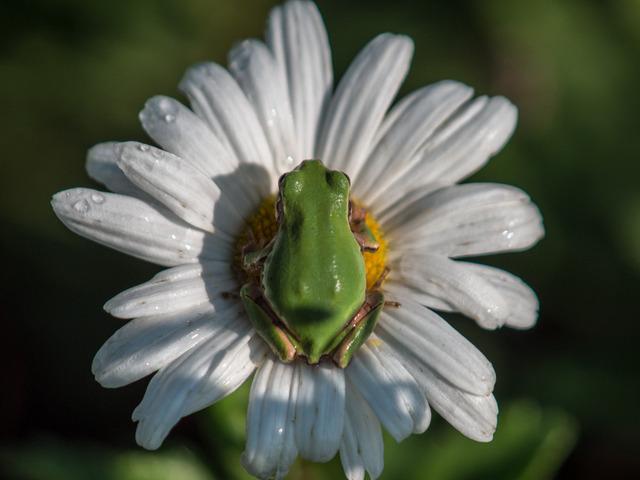 日本雨蛙5