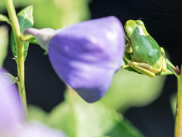 日本雨蛙84