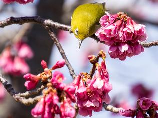 寒桜とメジロ6