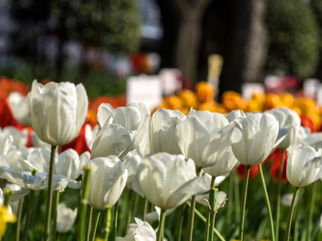 YP・tulip22