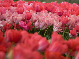 花菜ガーデン13