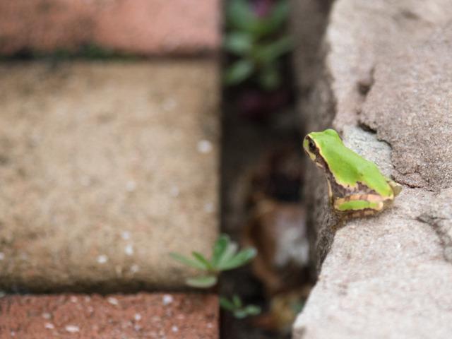 日本雨蛙87