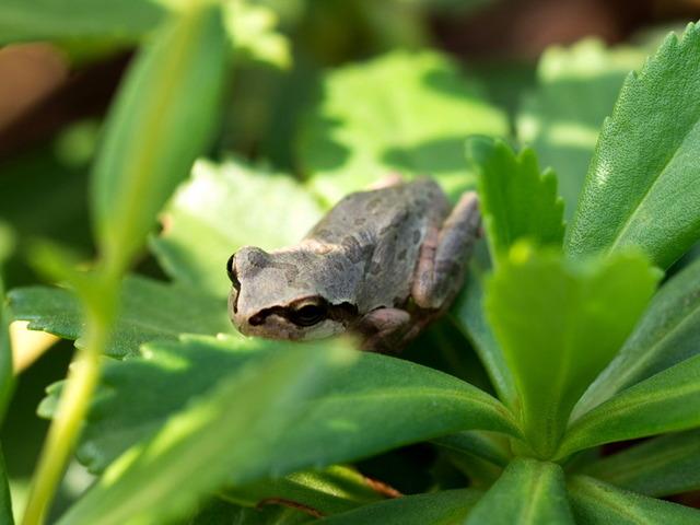 日本雨蛙69