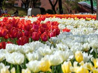 YP・tulip14