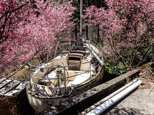 おかめ桜まつり13