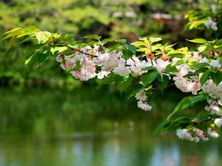 今泉名水桜公園02