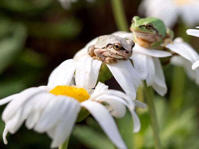 日本雨蛙15